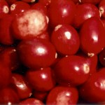 Cranberries- Thanksgiving's Beauty Fruit