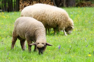 lanolin comes from sheep